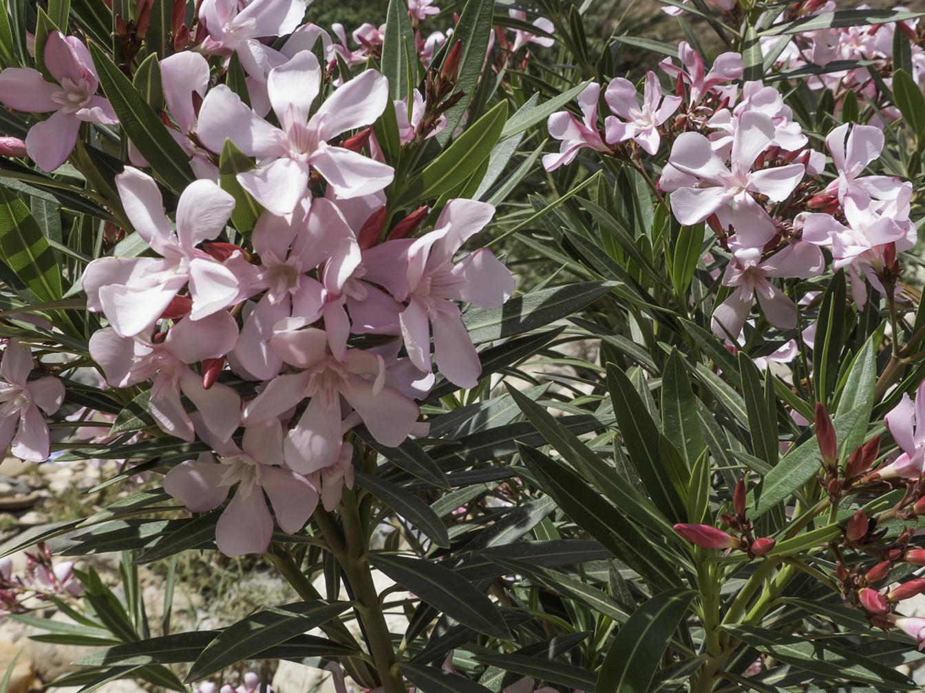 nerium oleander plant biodiversity of south western morocco. Black Bedroom Furniture Sets. Home Design Ideas
