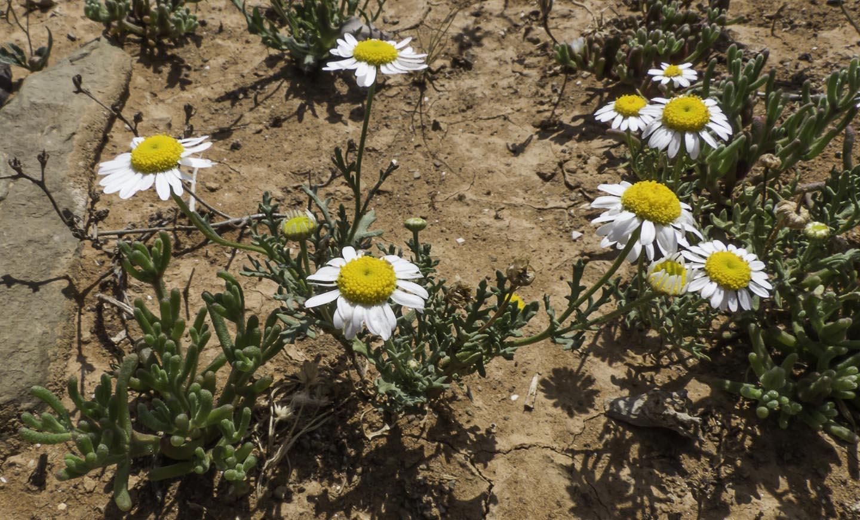 http://www.teline.fr/var/teline/storage/images/teline/photographies/toutes-les-familles/asteraceae/aaronsohnia-pubescens-subsp.-maroccana/aaronsohnia-pubescens-subsp.-maroccana-1/3462-1-fre-FR/Aaronsohnia-pubescens-subsp.-maroccana-1.jpg