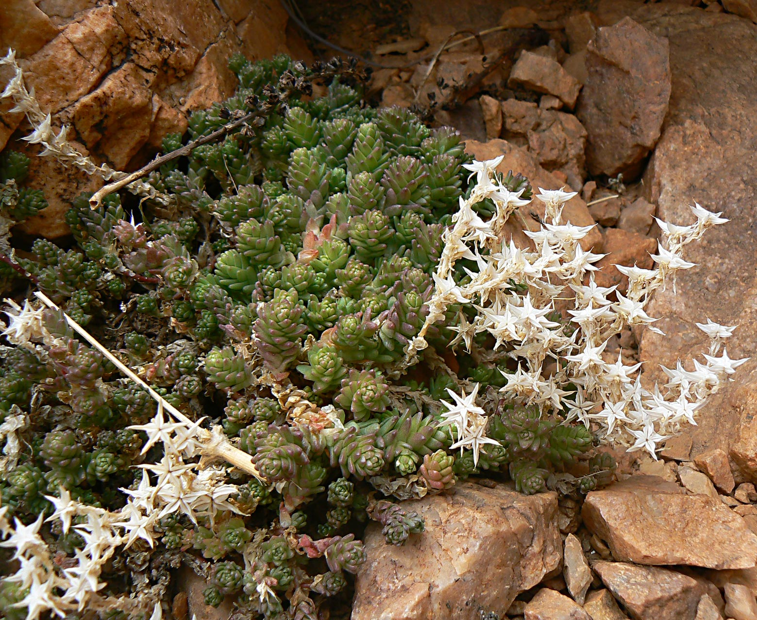 Sedum acre subsp neglectum plant biodiversity of south for Plante western