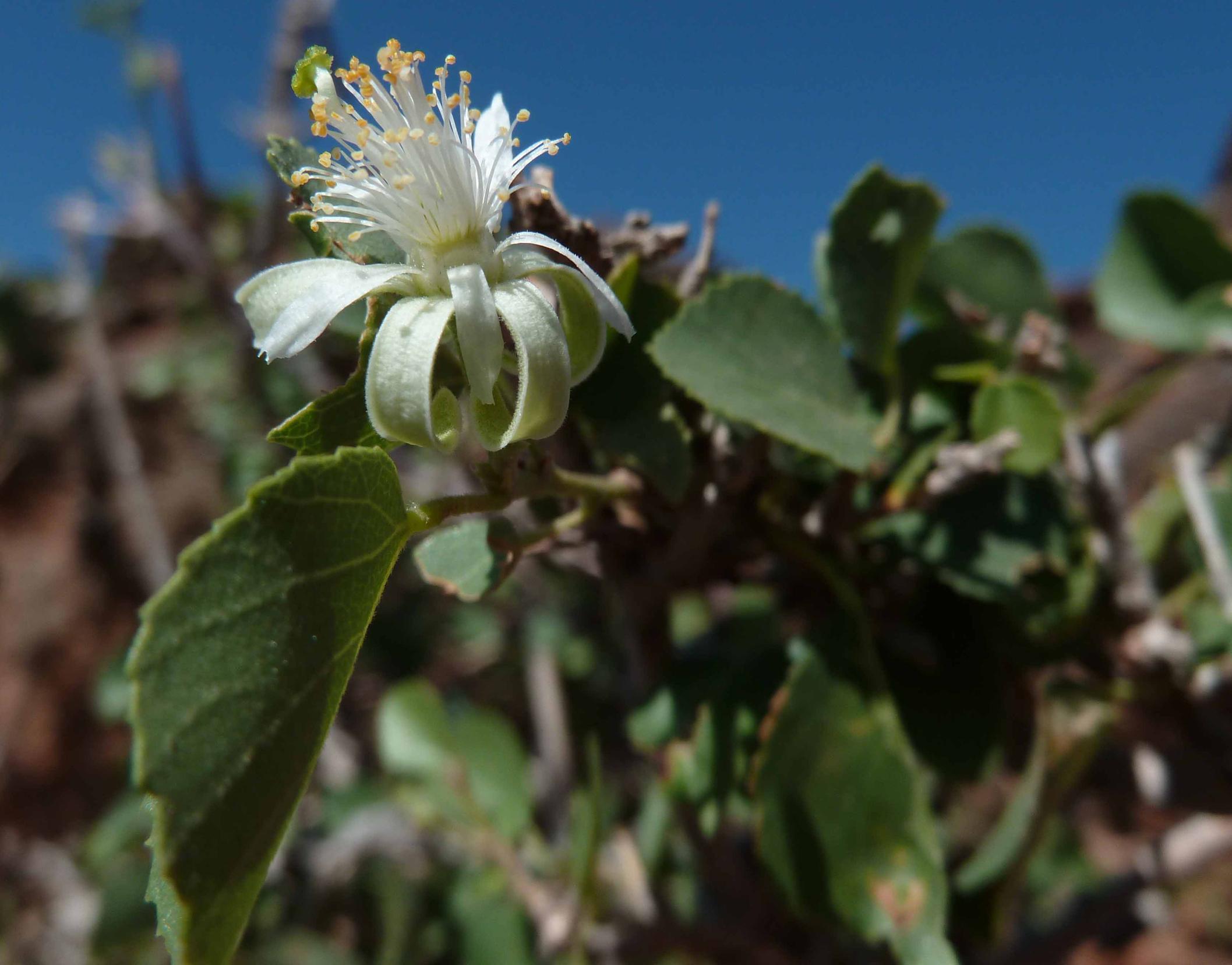 Malva Species On Canary Islands